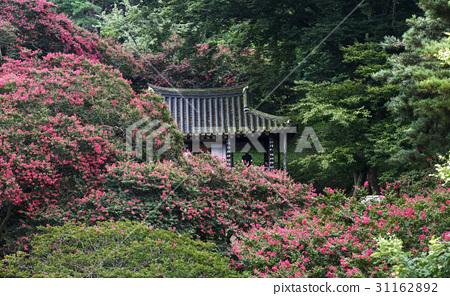 배롱나무,명옥헌,담양군,전남 31162892