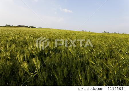 보리밭,학원농장,고창군,전북 31165054