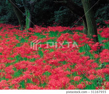 꽃무릇,선운산,고창군,전북 31167955