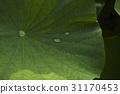 물방울,연잎 31170453