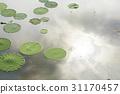 연잎,관곡지,시흥시,경기도 31170457