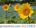 向日葵 花朵 花 31172832