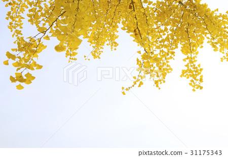 은행나무,충북 31175343