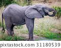 大象 動物 野生生物 31180539