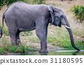 大象 動物 野生生物 31180595
