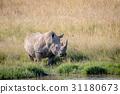 White rhino bull standing by the water. 31180673
