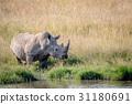 White rhino bull standing by the water. 31180691