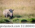 White rhino bull standing by the water. 31180693
