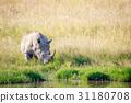 White rhino bull standing by the water. 31180708
