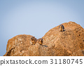 Several Rock hyraxes basking in the sun. 31180745