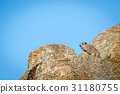 Rock hyrax basking in the sun. 31180755
