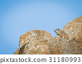 Rock hyrax basking in the sun. 31180993