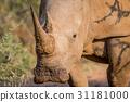 White rhino starring at the camera. 31181000