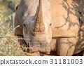 White rhino starring at the camera. 31181003