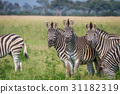 zebra wildlife safari 31182319