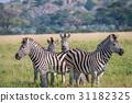 zebra wildlife safari 31182325