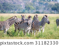 zebra wildlife safari 31182330
