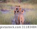 animal cat lion 31183484