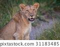 animal cat lion 31183485