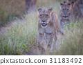 animal cat lion 31183492