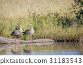 Two Egyptian geese sitting on a branch. 31183543