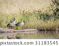 Two Egyptian geese sitting on a branch. 31183545