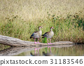 Two Egyptian geese sitting on a branch. 31183546