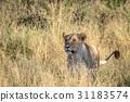 animal cat lion 31183574