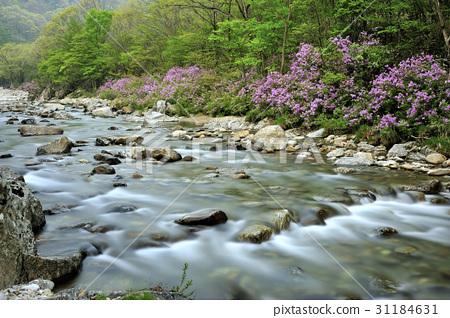 산철쭉,달궁계곡,지리산,남원시,전북 31184631