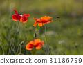 꽃, 실외, 양귀비 31186759