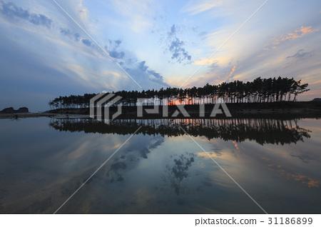 소나무,운여해변,태안해안국립공원,태안군,충남 31186899