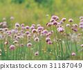 꽃, 산부추, 식물 31187049