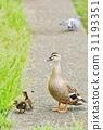 spot-billed, duck, parenthood 31193351