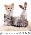 cat and chihuahua are resting 31195478