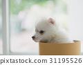 Cute siberian puppy in box 31195526