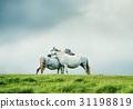 wild grey horses couple, love concept 31198819