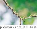 가지(나무), 곤충, 사마귀 31203436