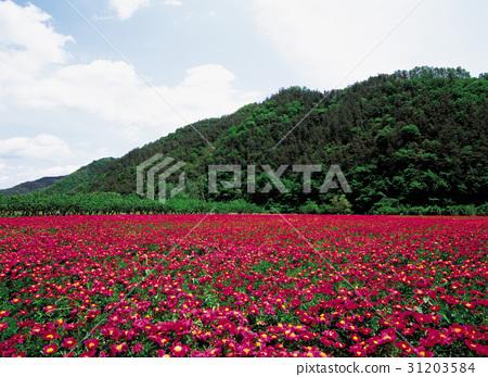 작약,의성군,경북 31203584