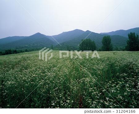 개망초,괴산군,충북 31204166