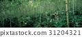자작나무,인제군,강원도 31204321