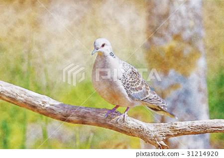 Turtle dove - watercolor painting 31214920