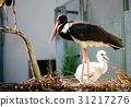 Black stork and cute fluffy white chik in nest 31217276