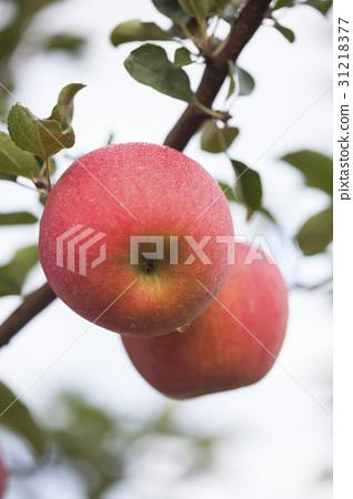사과,충북 31218377