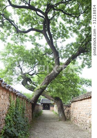 회화나무,남사예담촌,산청군,경남 31218854