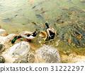 綠頭鴨和魚 31222297