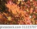 楓葉 顏色 光線 31223707