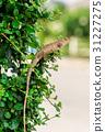 crested Lizard 31227275