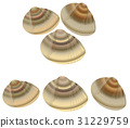 clam, common orient clam, meretrix lusoria 31229759