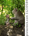 Adult monkey sits on the tree in the forest 31230584