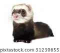 Ferret isolated on a white background 31230655